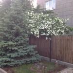 Акцент цветущей калины Бульдонеж подчеркнут соседством ели голубой...