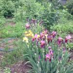 Многолетники в создании цветочных клумб