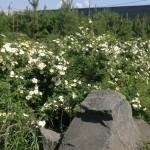 Буйство цветков розы морщинистой. п. Весенний