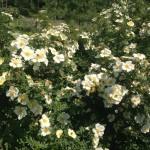 Буйство цветков розы морщинистой. п. Весенний 2