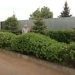 Свободно растущая живая изгородь из дерна в поселке Солнечном
