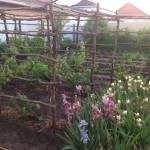 Естественная изгородь для вертикальной изгороди (роза плетистая, виноград девичьий и т.д.) п. Крона