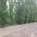Лучшая защита от ветра и пыли - аллея из тополя пирамидального. Растет в год 1.5-2 метра, максимальный эффект достигается при посадке 2 рядной аллеи. Расстояние в ряду между деревьями 1.5-1.8 метра