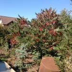 Сумах пушистый (уксусное дерево) - лучшее украшение и летом и осенью