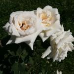 Цветущая роза - венец наших дел